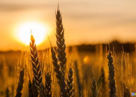 الزام ثبت قراردادهای صادراتی گندم روسیه در بورس مسکو/ گندم از سال آینده در بورس کالا عرضه می شود؟